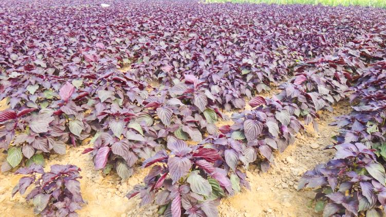新油道營養之紫蘇籽油